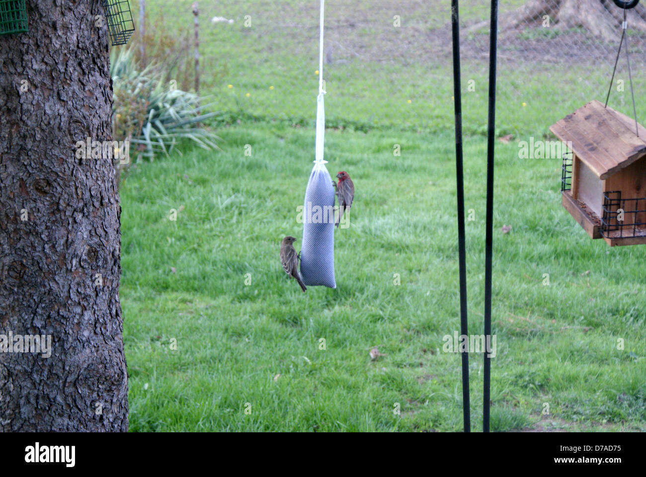 Two finches feeding on a finch sock feeder - Stock Image
