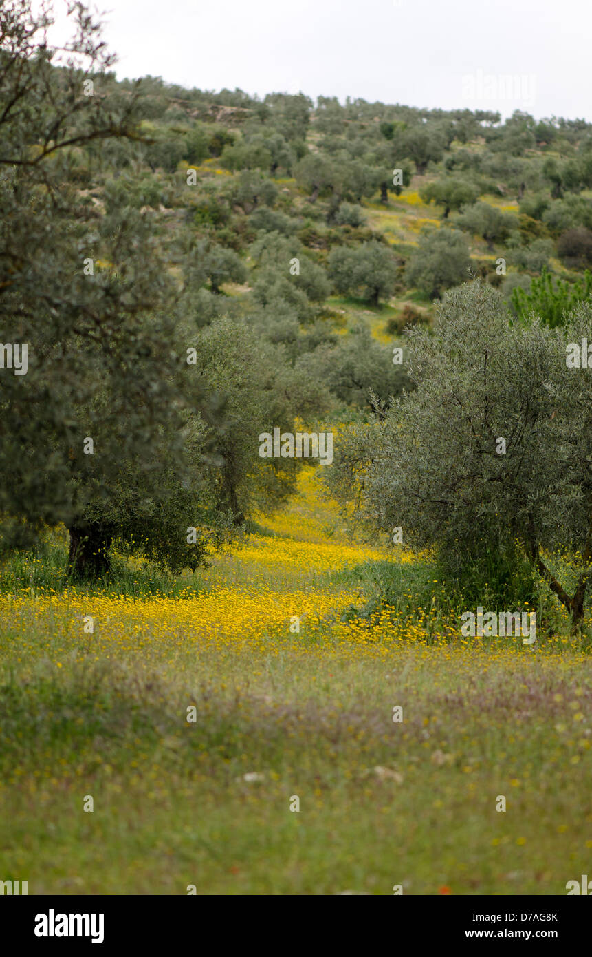 Orchard of olives in spring, Andalusia, Spain. - Stock Image