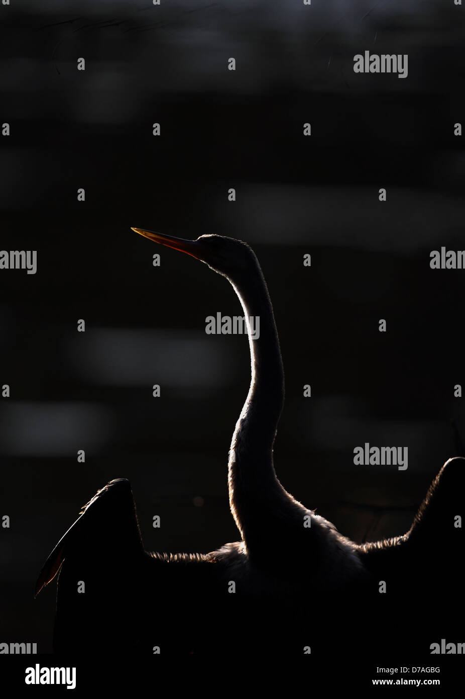 Portarait of snake bird in Keoladeo National Park, Bharatpur, Rajasthan, India back lit - Stock Image