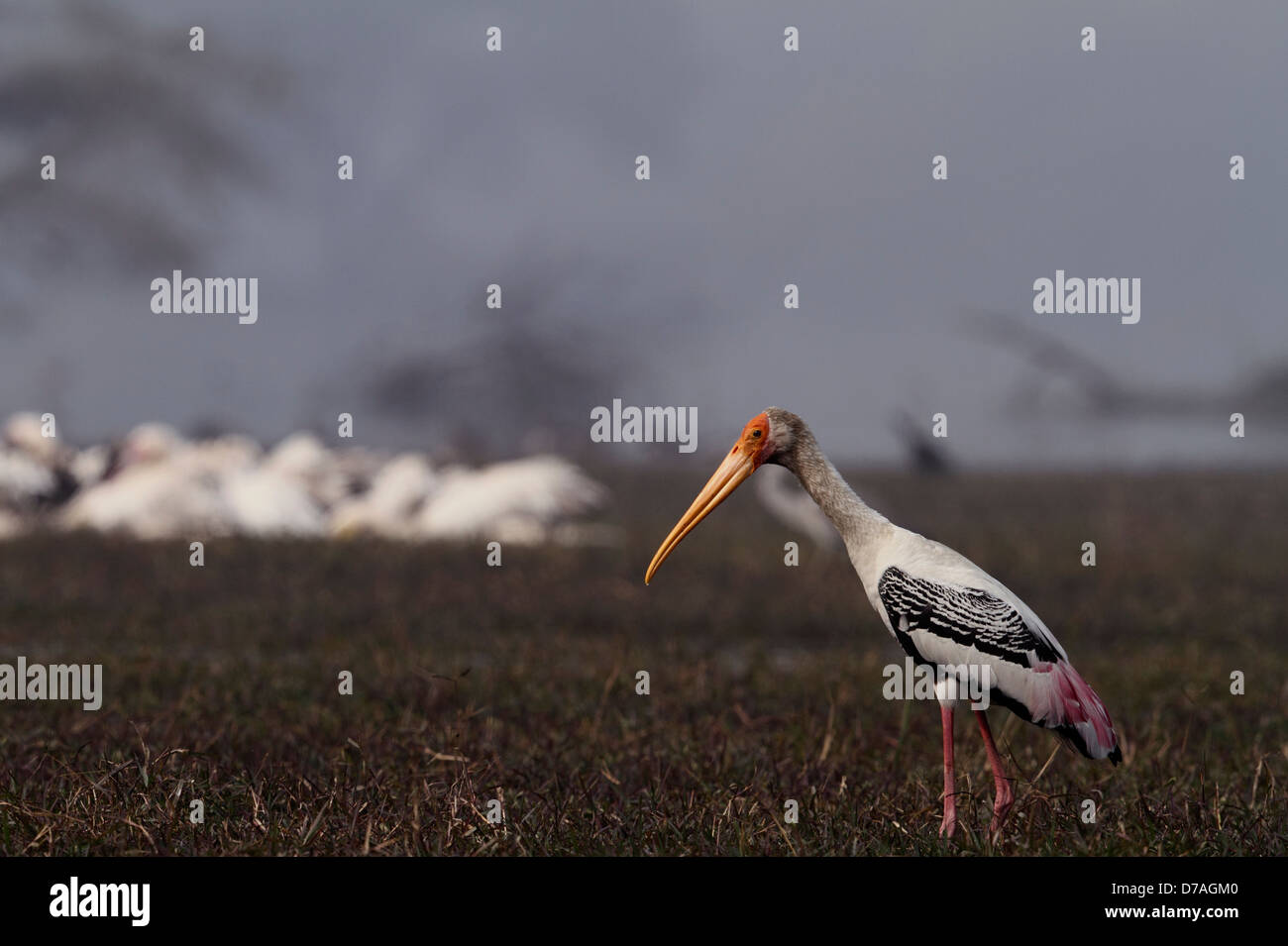 Painted Stork in Keoladeo National park, Bharatpur, rajasthan, India - Stock Image