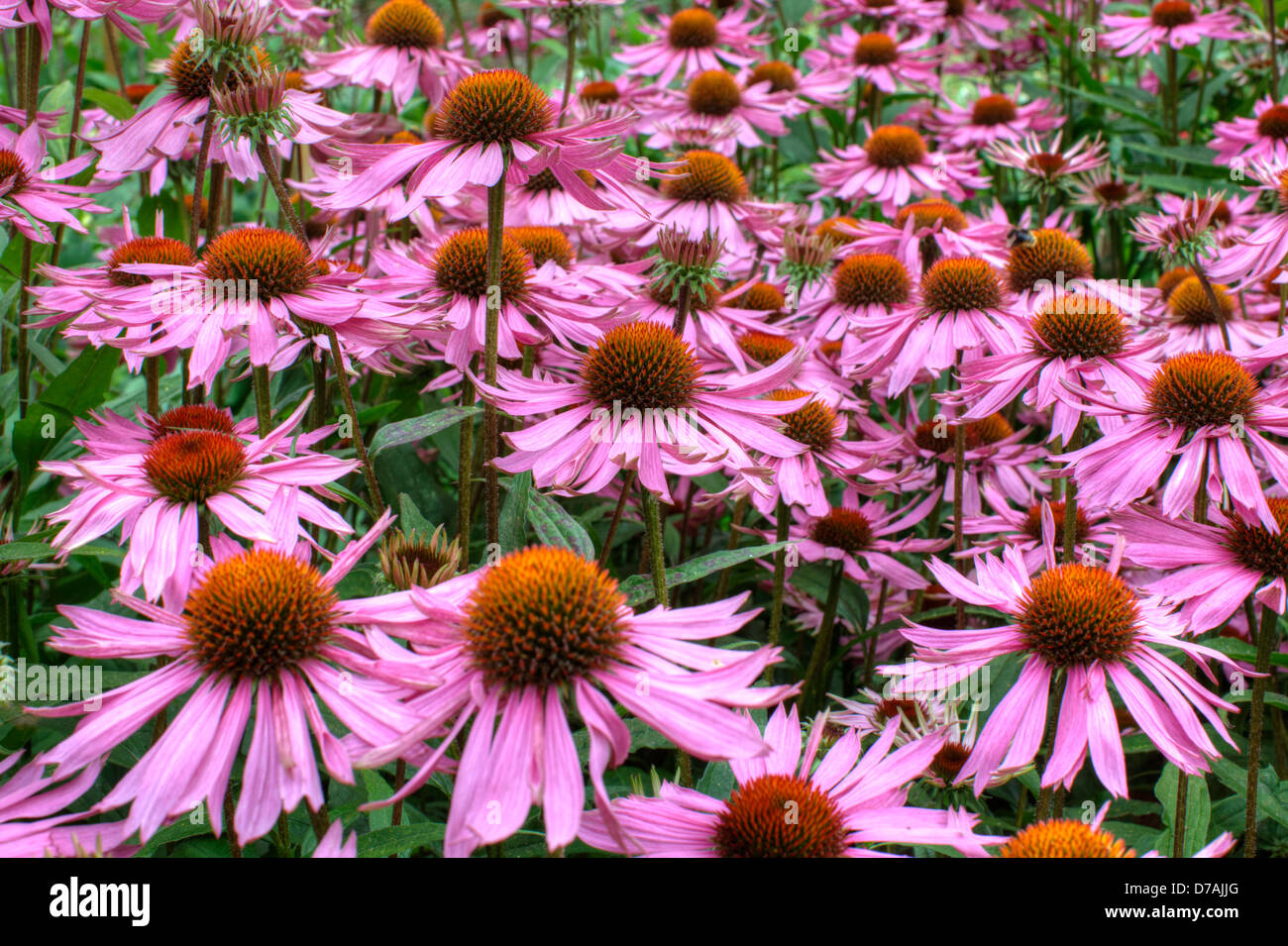Purple and orange perennial flowers Echinacea Purpurea Maxima in a garden - Stock Image