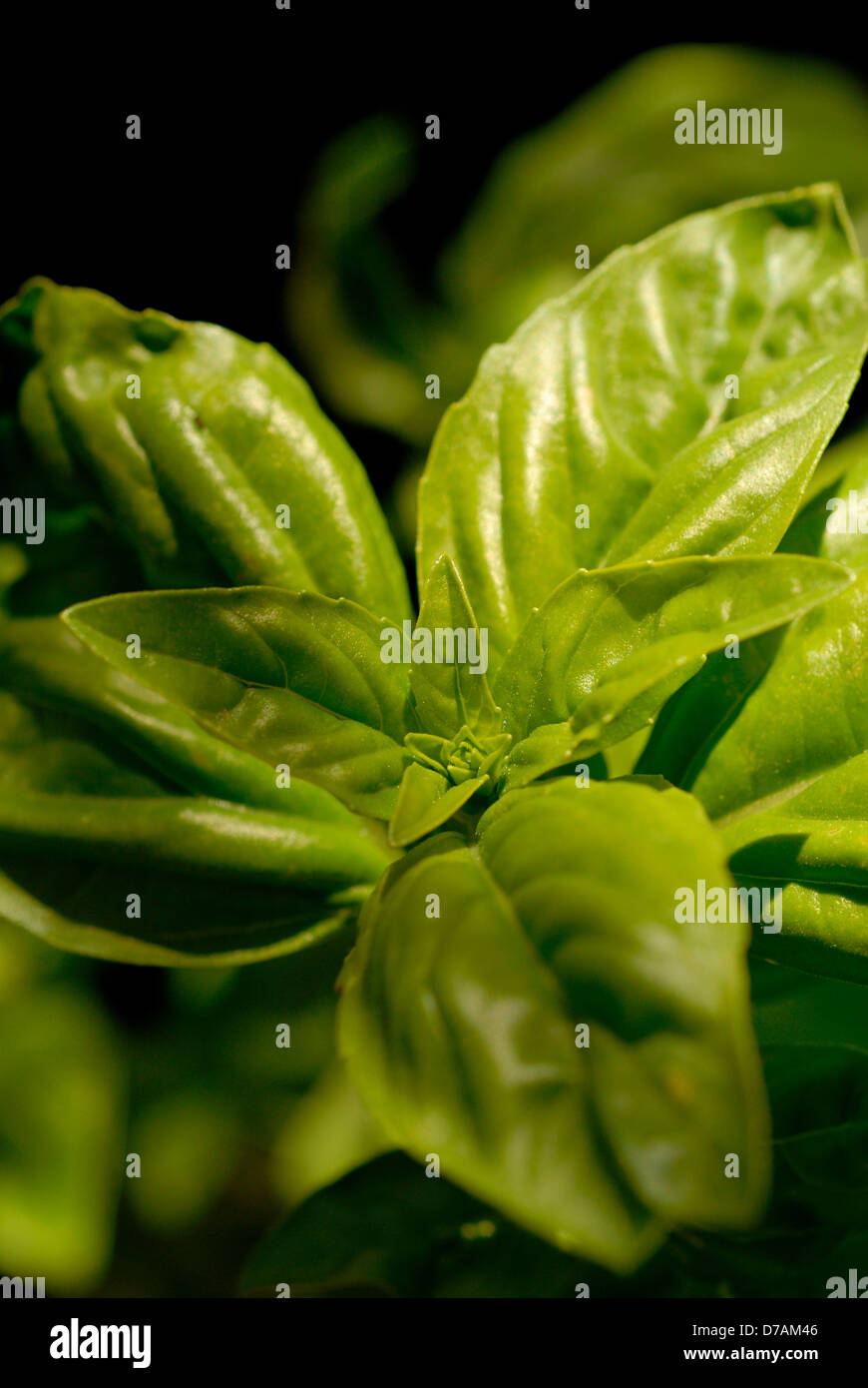 close up of fresh basil leaves Stock Photo