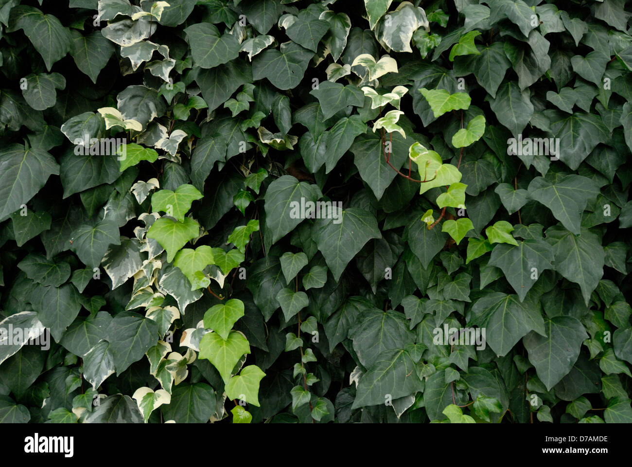 varieties of green climbing ivy covering a city wall Stock Photo