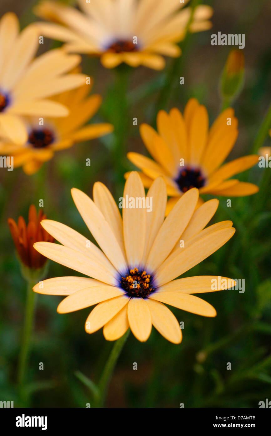 dimorphoteca aurantiaca dimorfoteca flowers Stock Photo