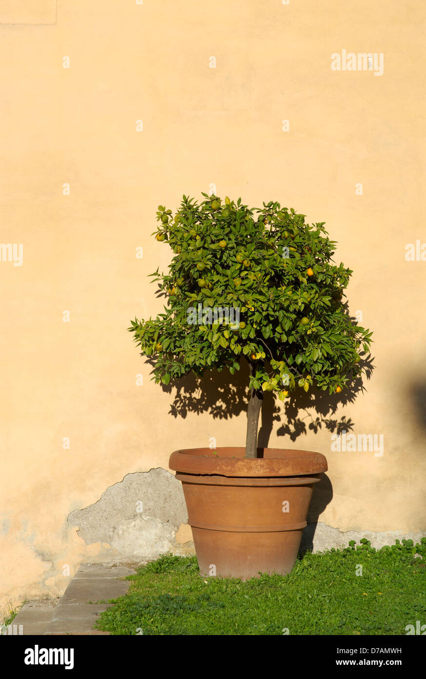 decorative orange tree in terracotta pot against cream stucco wall ...