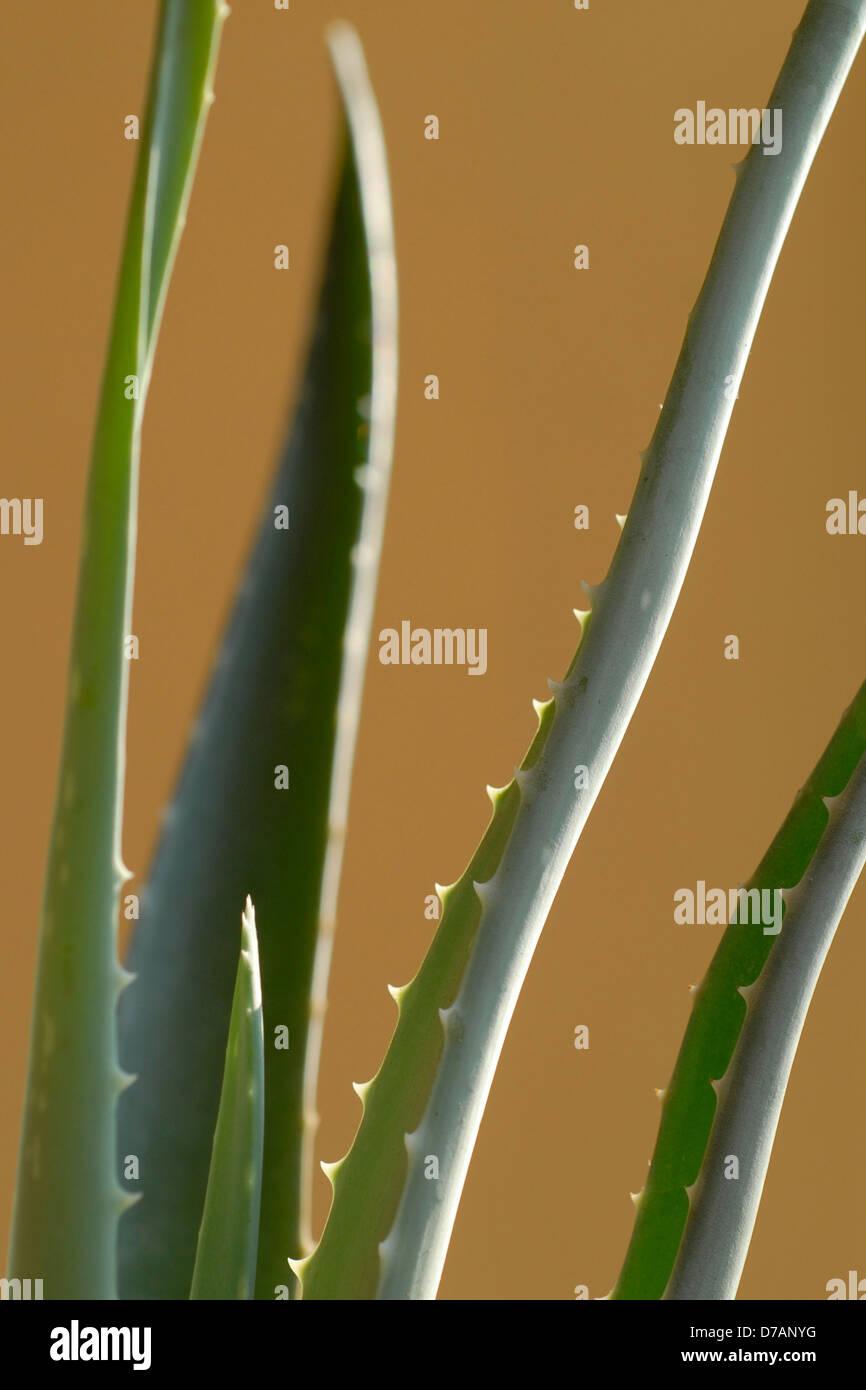 aloe vera cactus Stock Photo