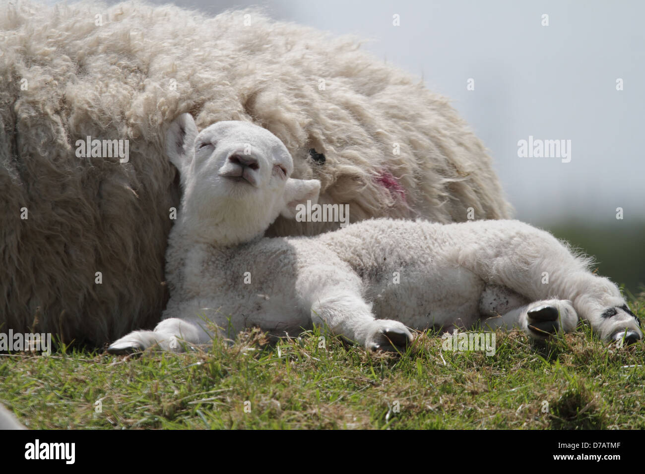spring lamb in sunshine - Stock Image