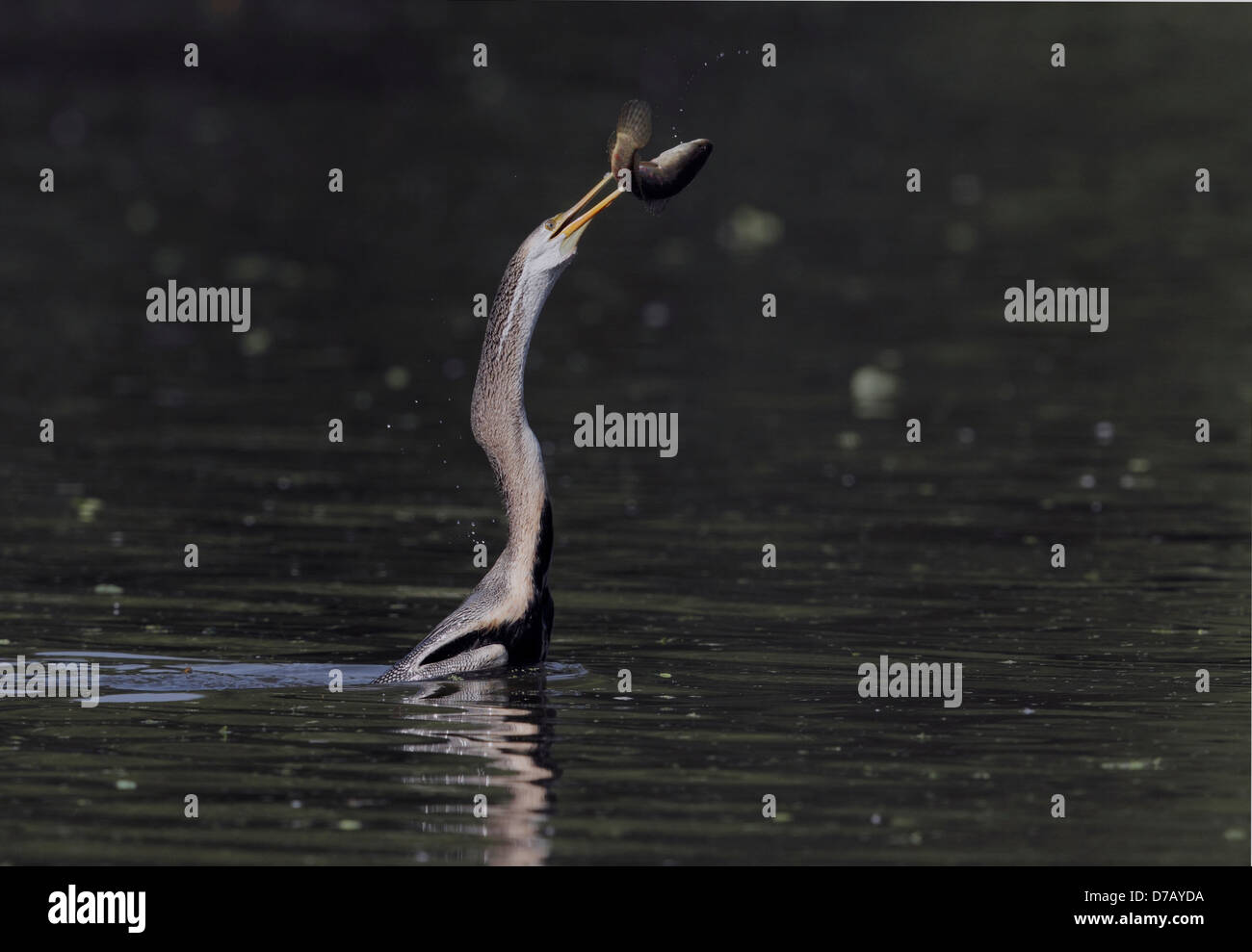 Darter snake bird with a catch - Stock Image