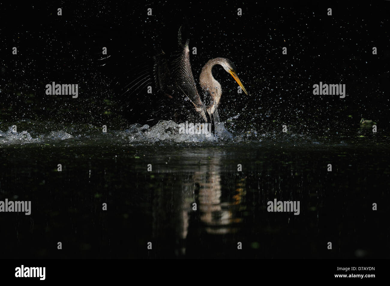 One of the fighting snake bird looks like a Nature's Swarovski  gem - Stock Image