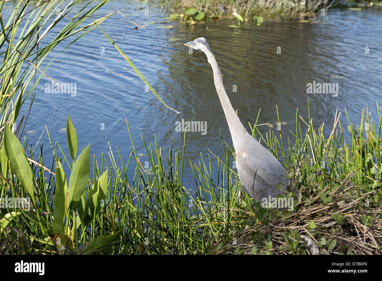 Bird, Anhinga Trail, Everglades National Park, Florida City, Florida City, Florida, USA, - Stock Image