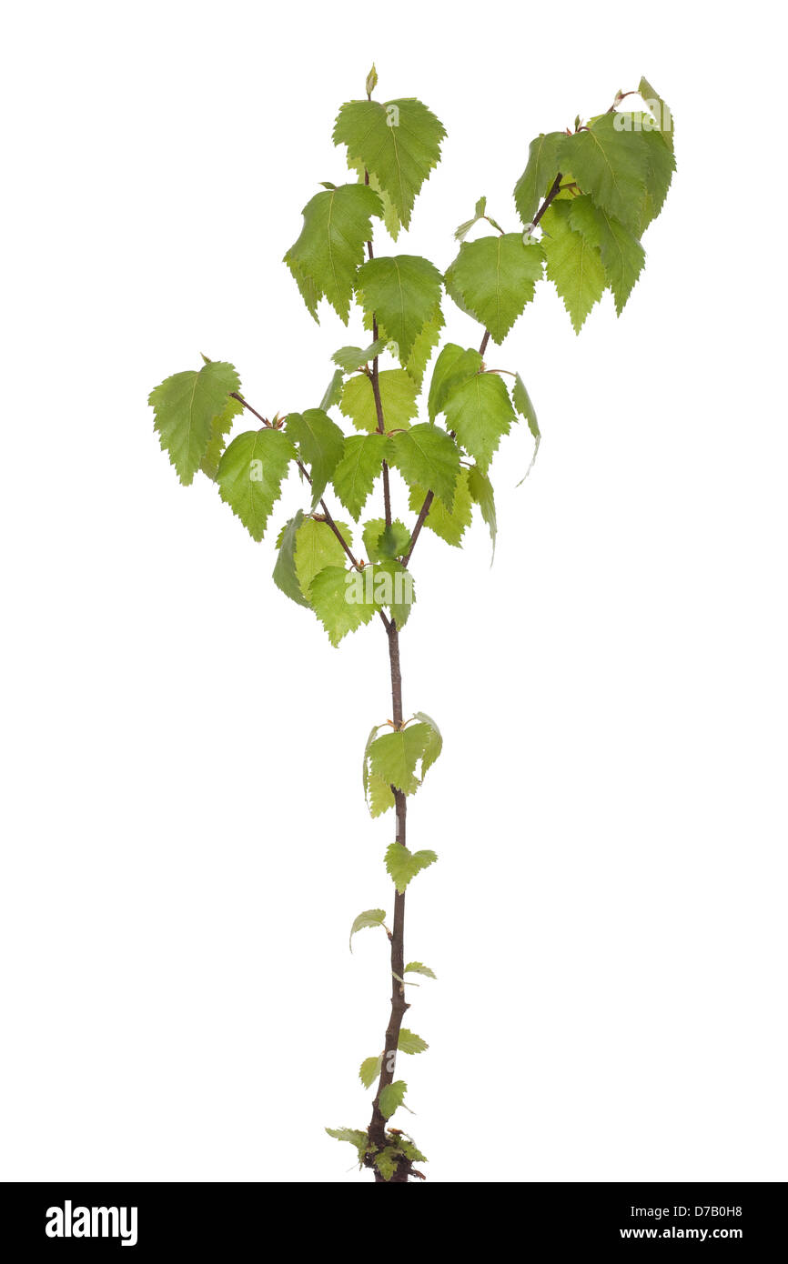 young seedling birch (Betula) on white background - Stock Image