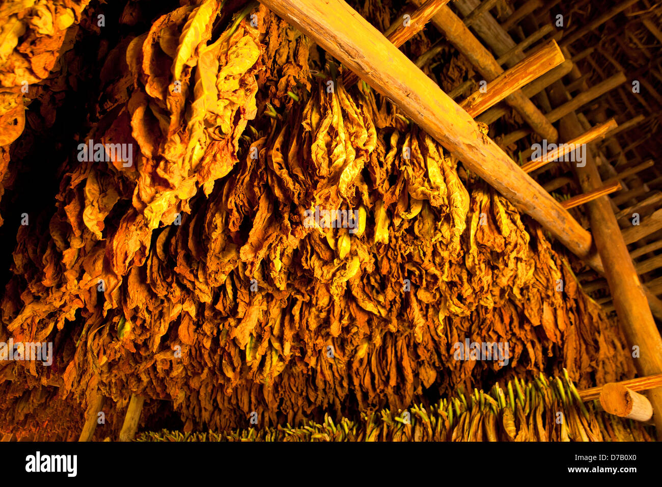 tobacco leaves drying in a Barn in the Vinales Valley, Vinales, Pinar del Rio, Cuba, Caribbean - Stock Image