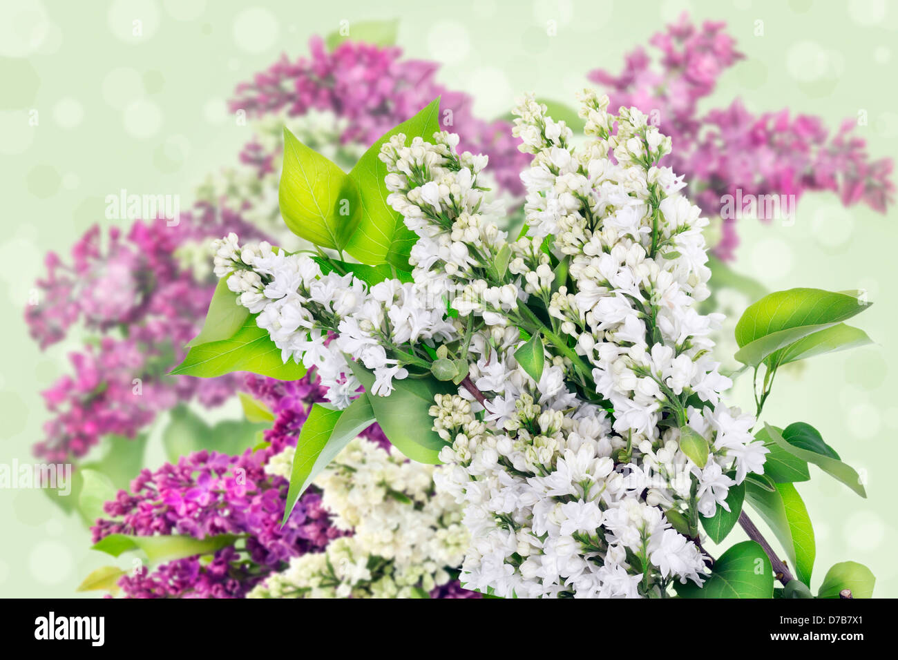 White and purple lilac branches with flowers and leaves abstract collage background. Selective art focus. - Stock Image