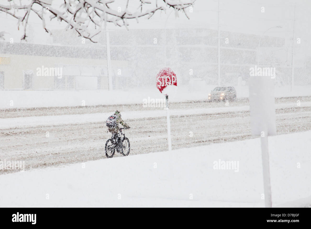 Cyclist riding in the snow during a spring snow storm;Edmonton alberta canada - Stock Image