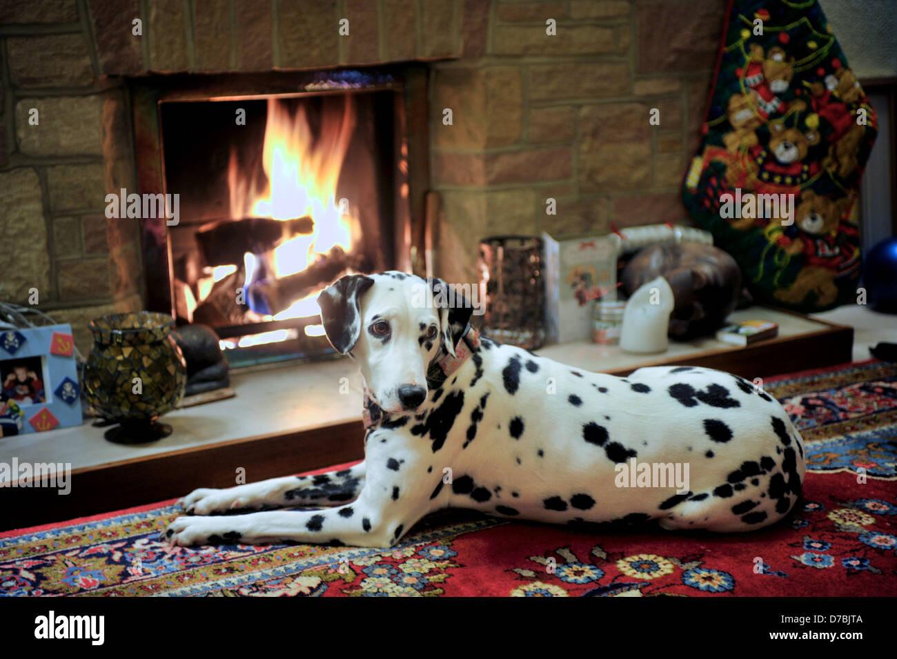 Fireside Dalmatian. - Stock Image