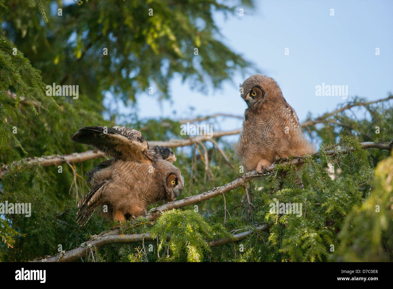 Great horned owl owlet fledglings balancing on fir tree-Victoria, Vancouver Island British Columbia, Canada. - Stock Image