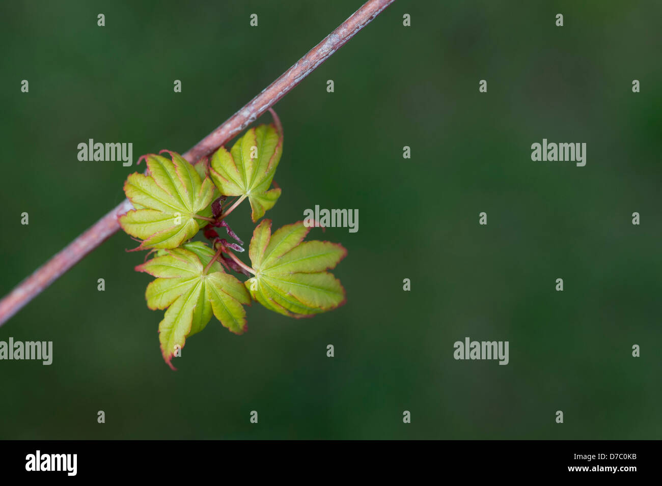 Acer palmatum sango kaku. Spring leaves emerging on a Japanese Maple tree Stock Photo