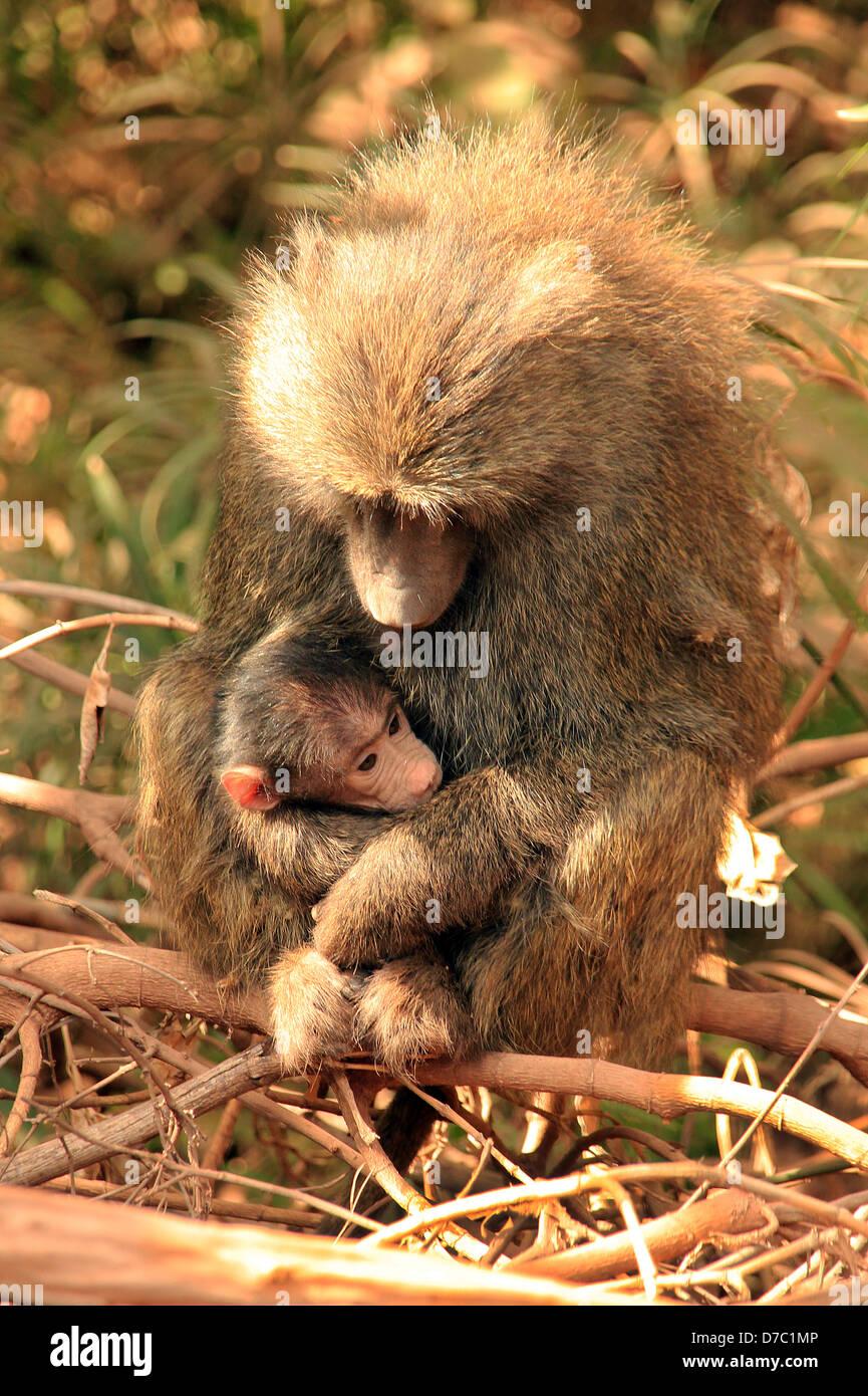 Olive Baboon (Papio Anubis) with Baby in Her Arms, Lake Manyara, Tanzania - Stock Image