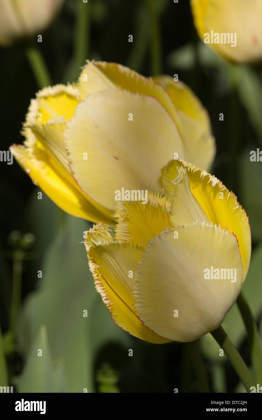 Yellow 'Max Durand' Tulips at the Brooklyn Botanic Garden, New York, NY - Stock Image