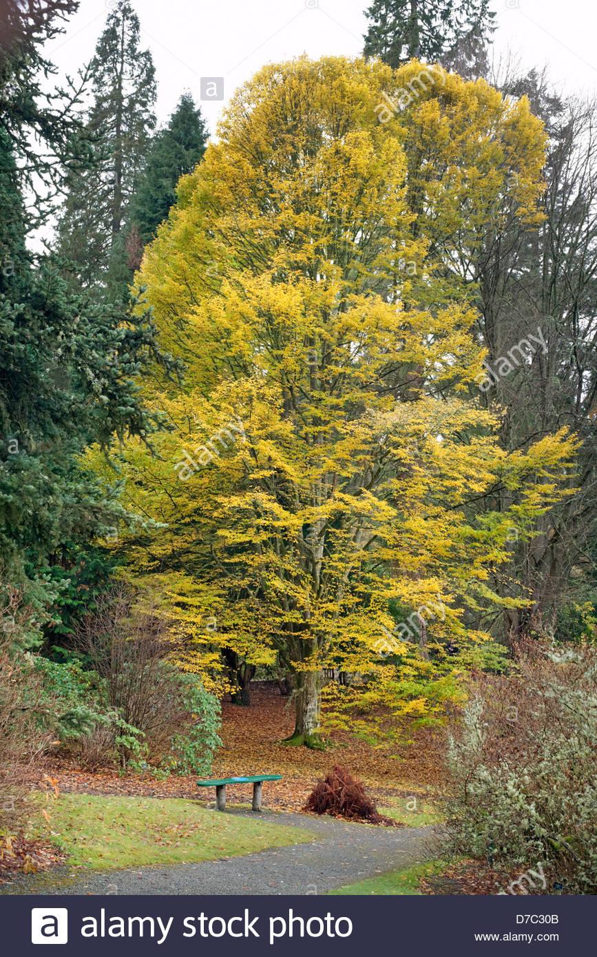 Carpinus betulus 'Fastigiata' (hornbeam 'Fastigiata') - Stock Image