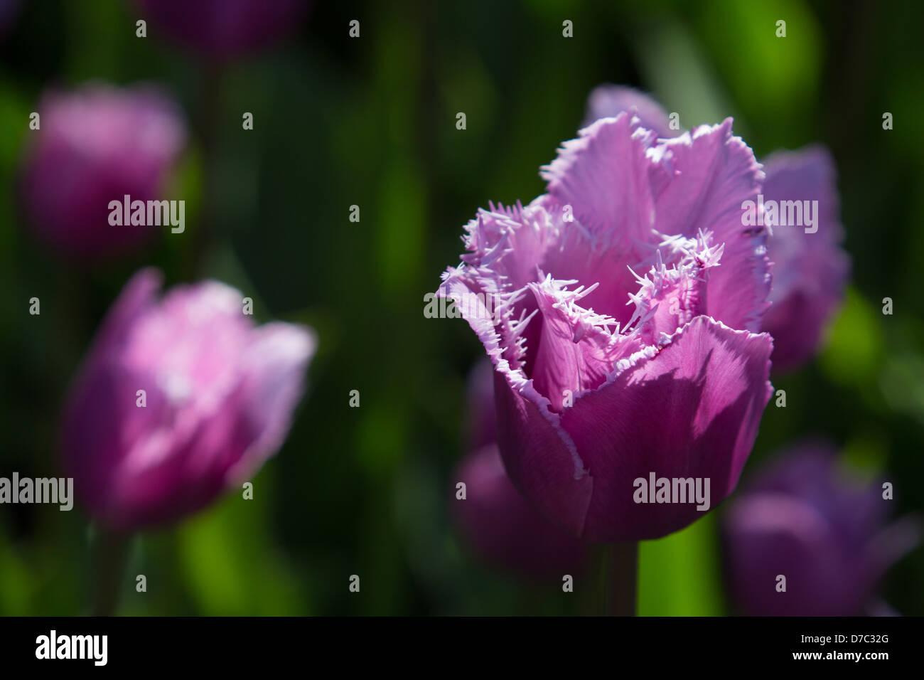 Purple 'Max Durand' Tulips at the Brooklyn Botanic Garden, New York, NY - Stock Image