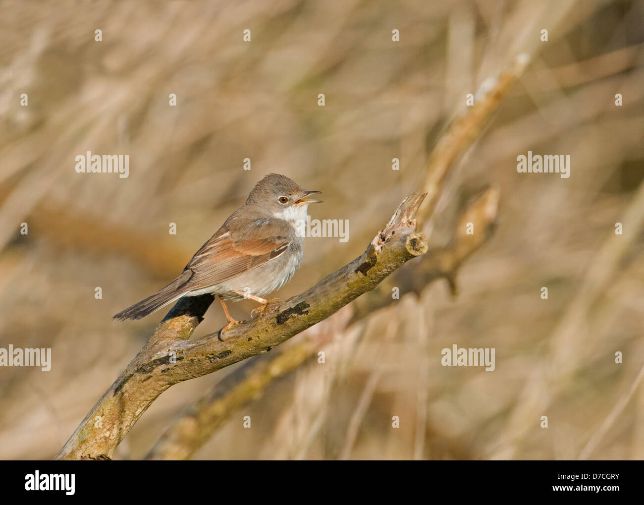 WHITETHROAT (SYLVIA COMMUNIS) IN SONG. SPRING. UK - Stock Image