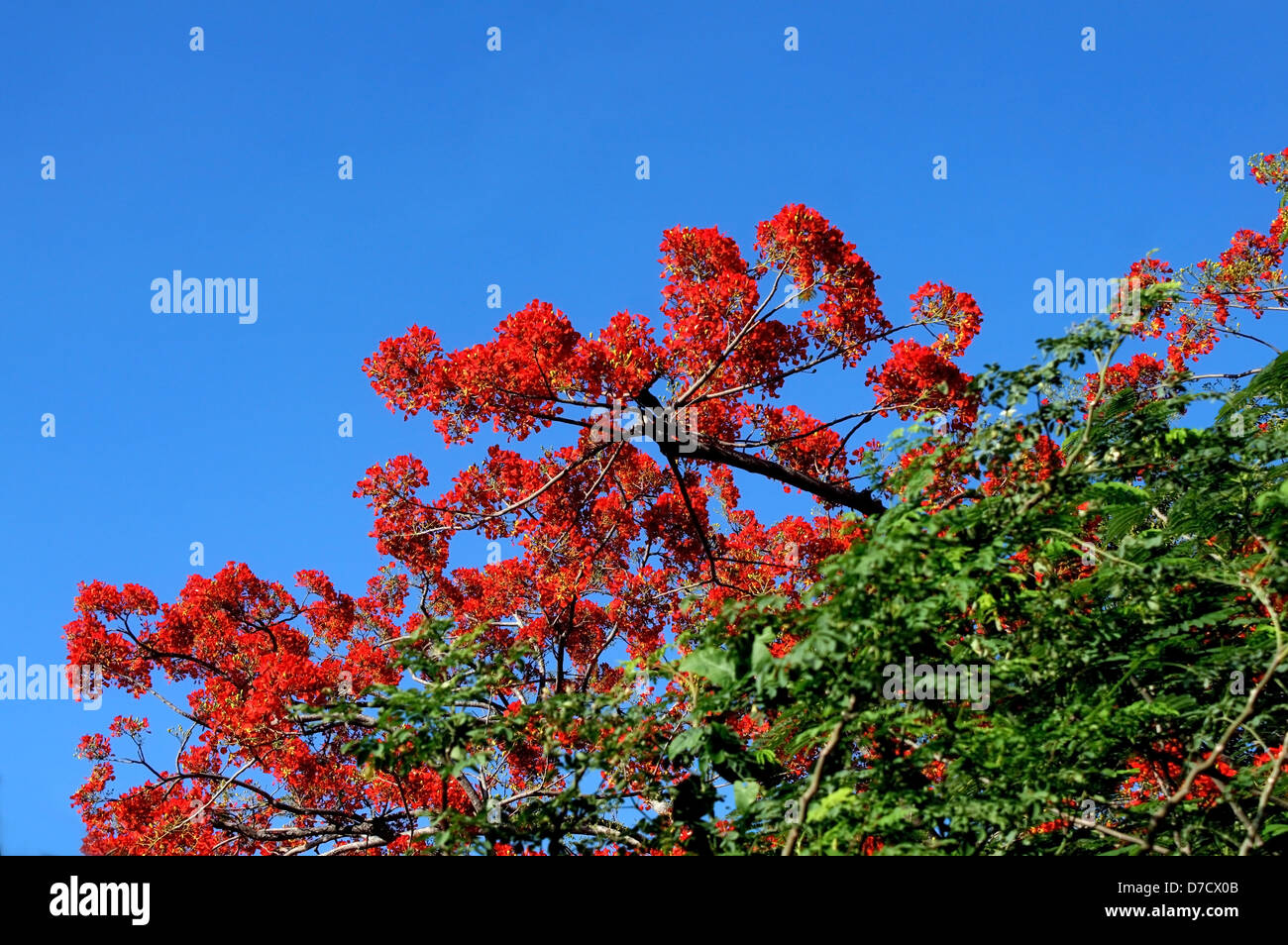 Deep Red- Orange flowers of Royal Poinciana or Flame tree - Stock Image