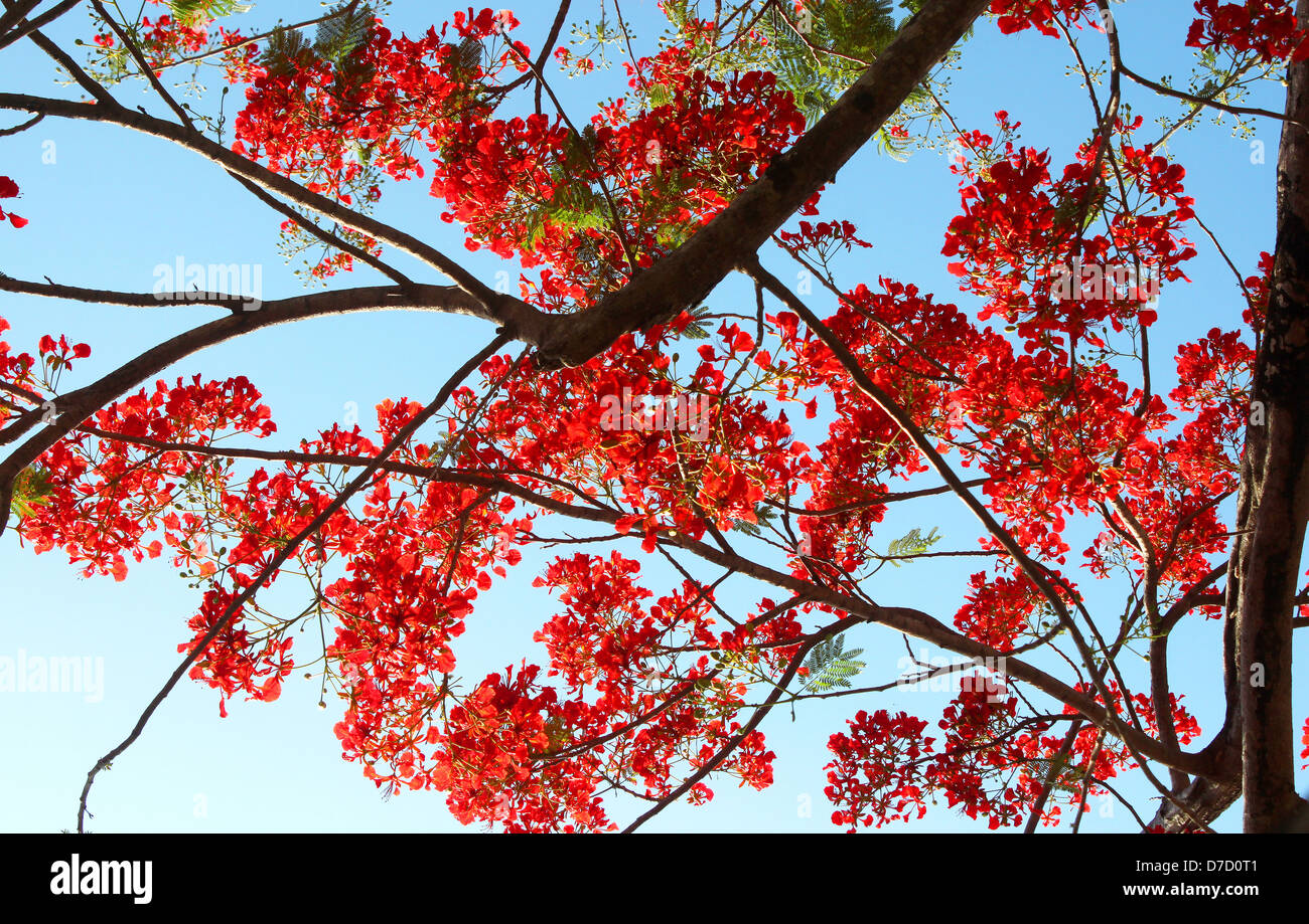 Royal Poinciana tree with red-orange flowers - Stock Image