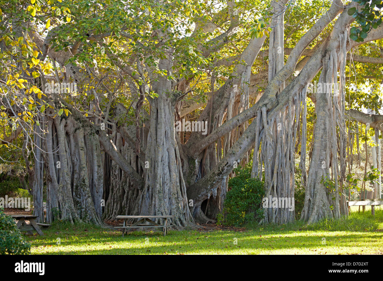 giant Ficus lofty fig at Hugh Taylor Birch State Park in Fort Lauderdale, Brower County, Florida, USA - Stock Image