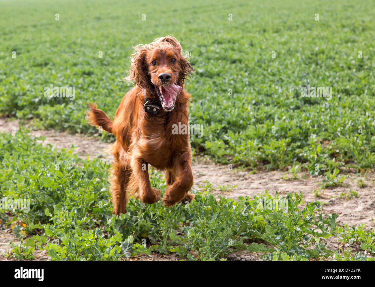 Irish setter runs on a grassland Stock Photo