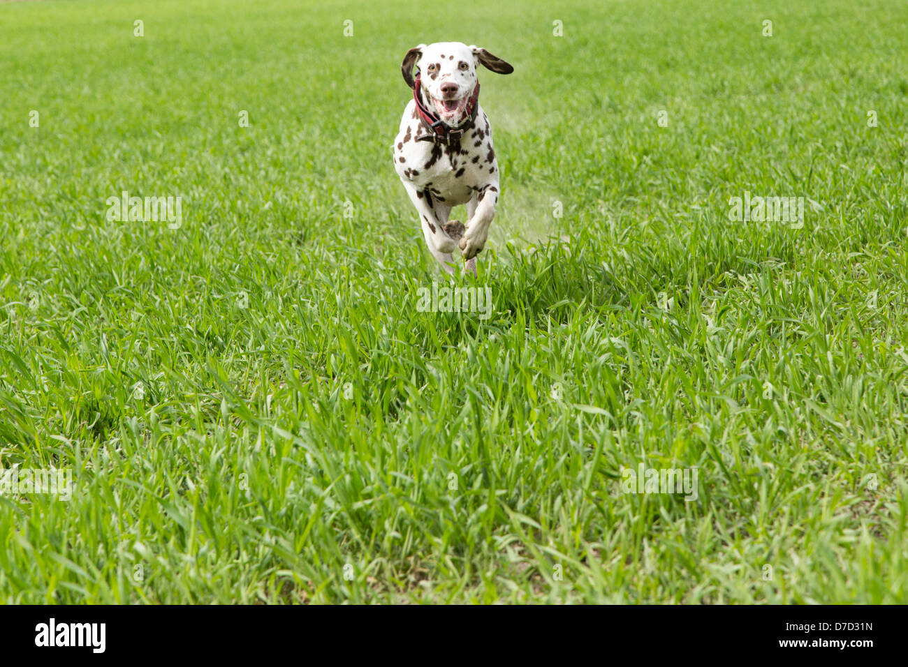 Dalmation runs to meet the dog trainer - Stock Image