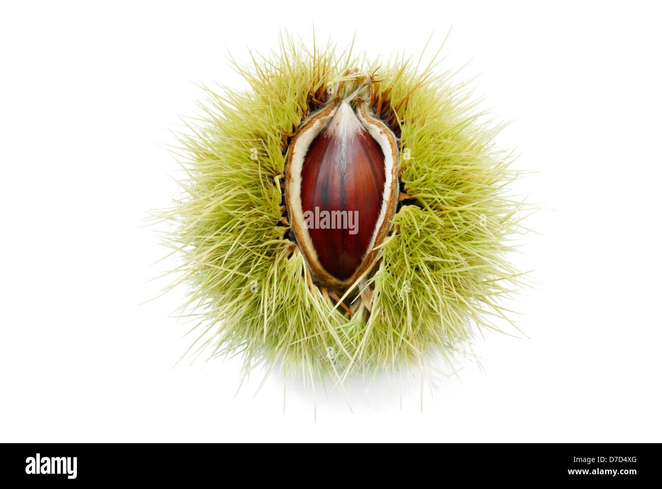 chestnut pops up through its half opened husk - Stock Image