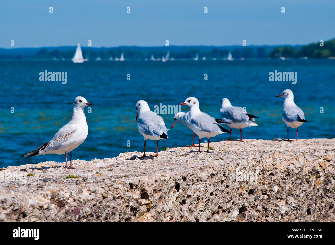 Gulls on the Beach, on a Background of Sea Water and White Sails - Stock Image