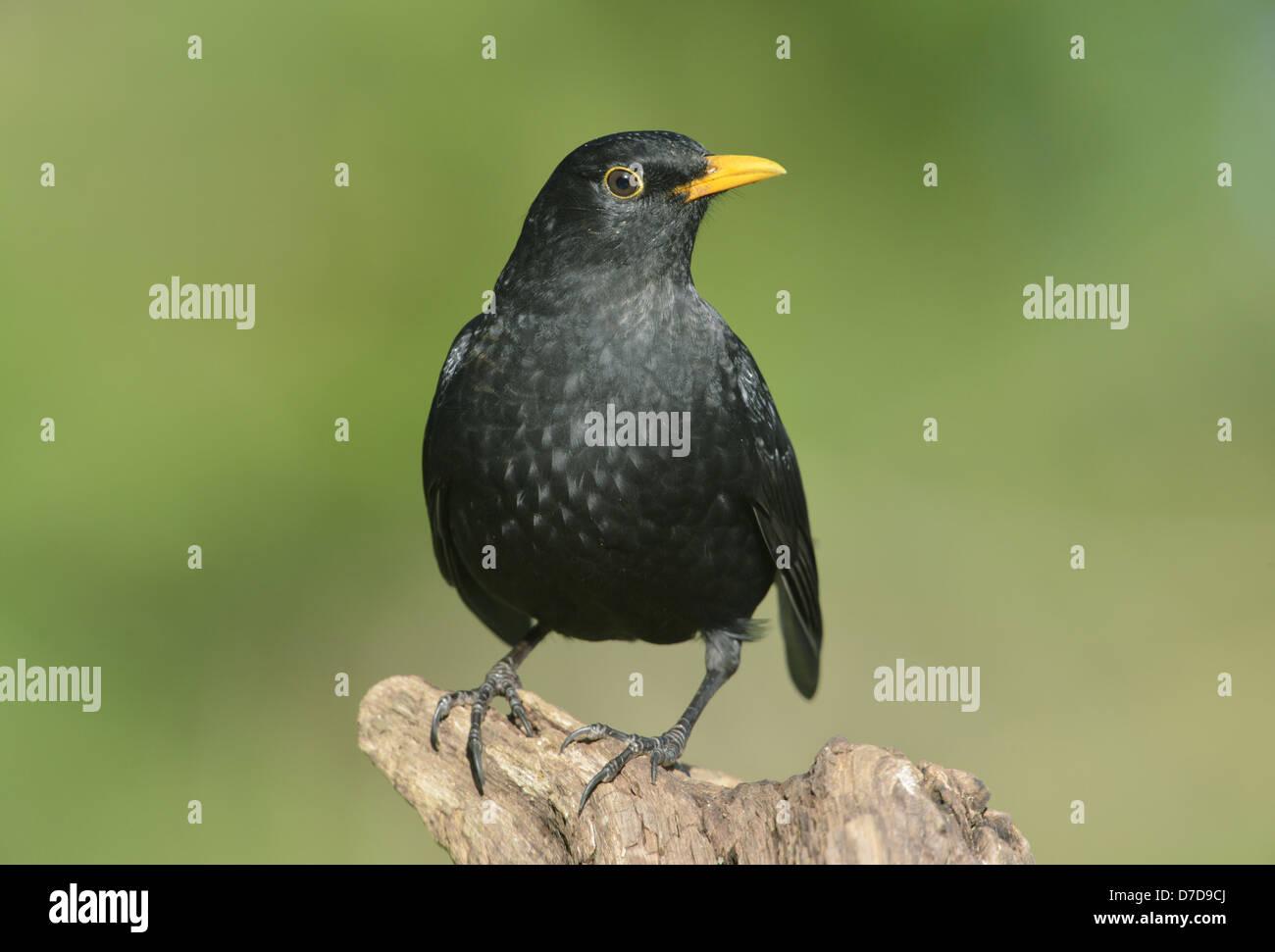 Blackbird Turdus merula - Stock Image