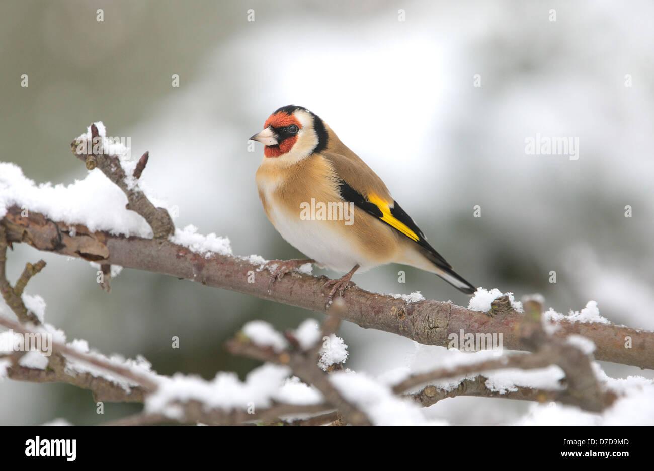 Goldfinch Carduelis carduelis - Stock Image