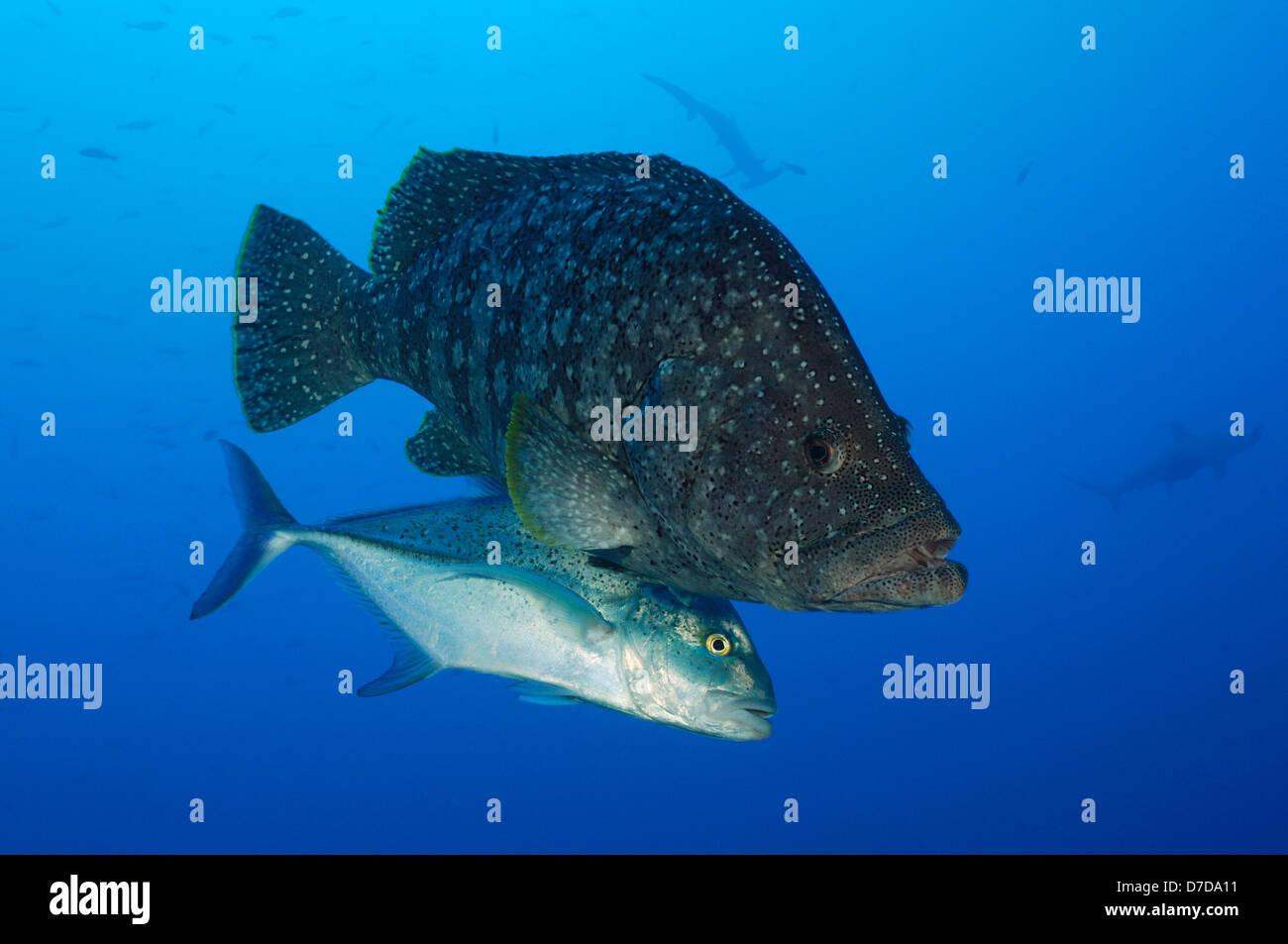 Leather Bass accompanied by Bigeye Trevally, Dermatolepis dermatolepis, Caranx sexfasciatus, Revillagigedo Islands, - Stock Image