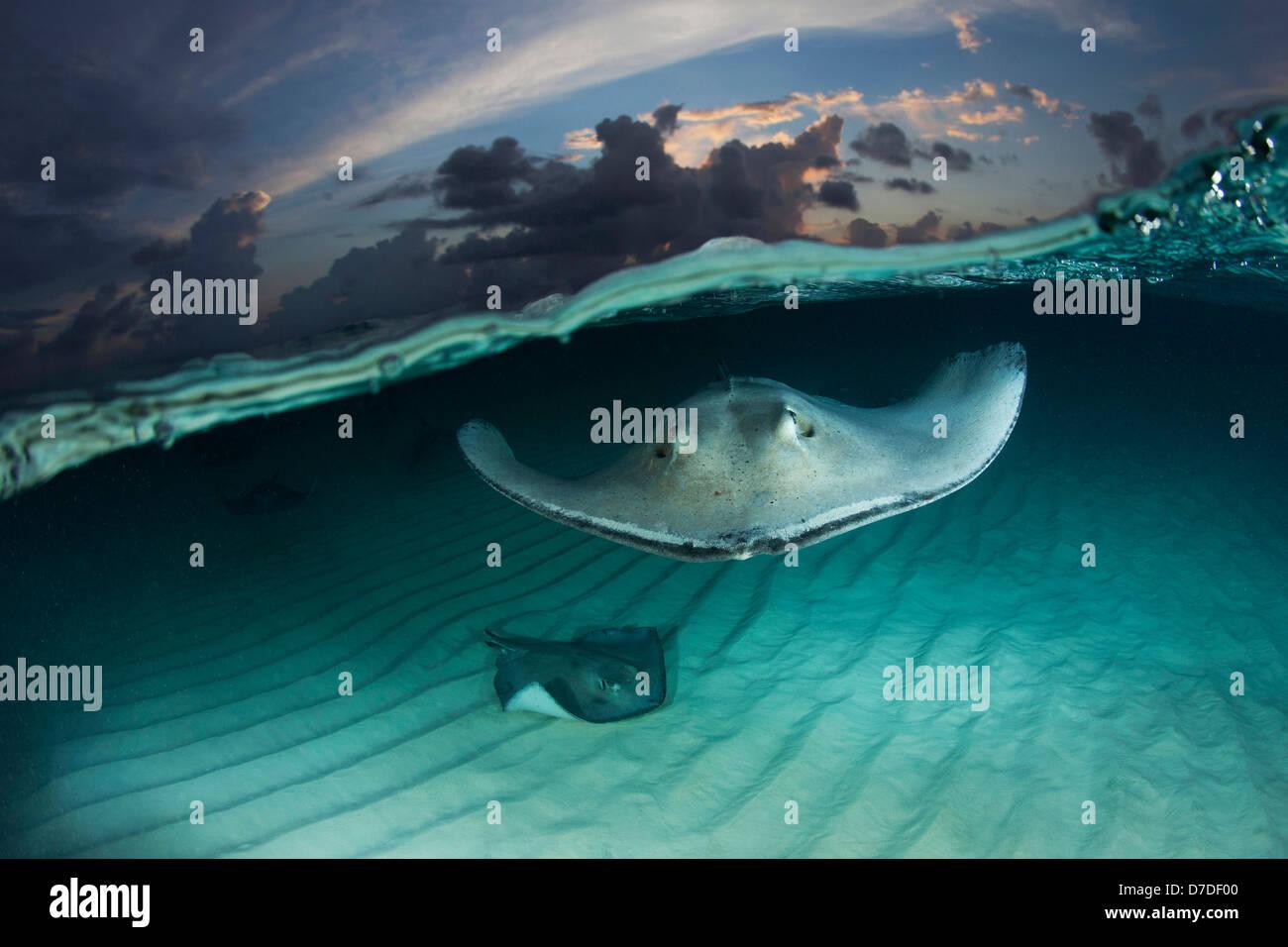 Southern Stingrays, Dasyatis americana, Grand Cayman, Caribbean Sea, Cayman Islands - Stock Image