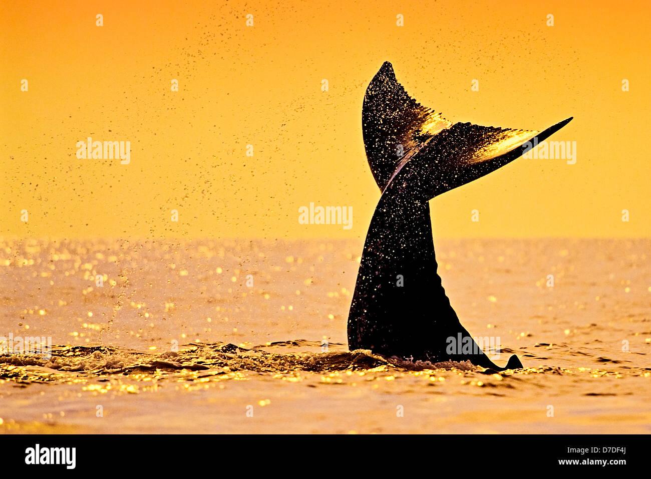 Fluke of Humpback Whale, Megaptera novaeangliae, Hawaii, USA - Stock Image