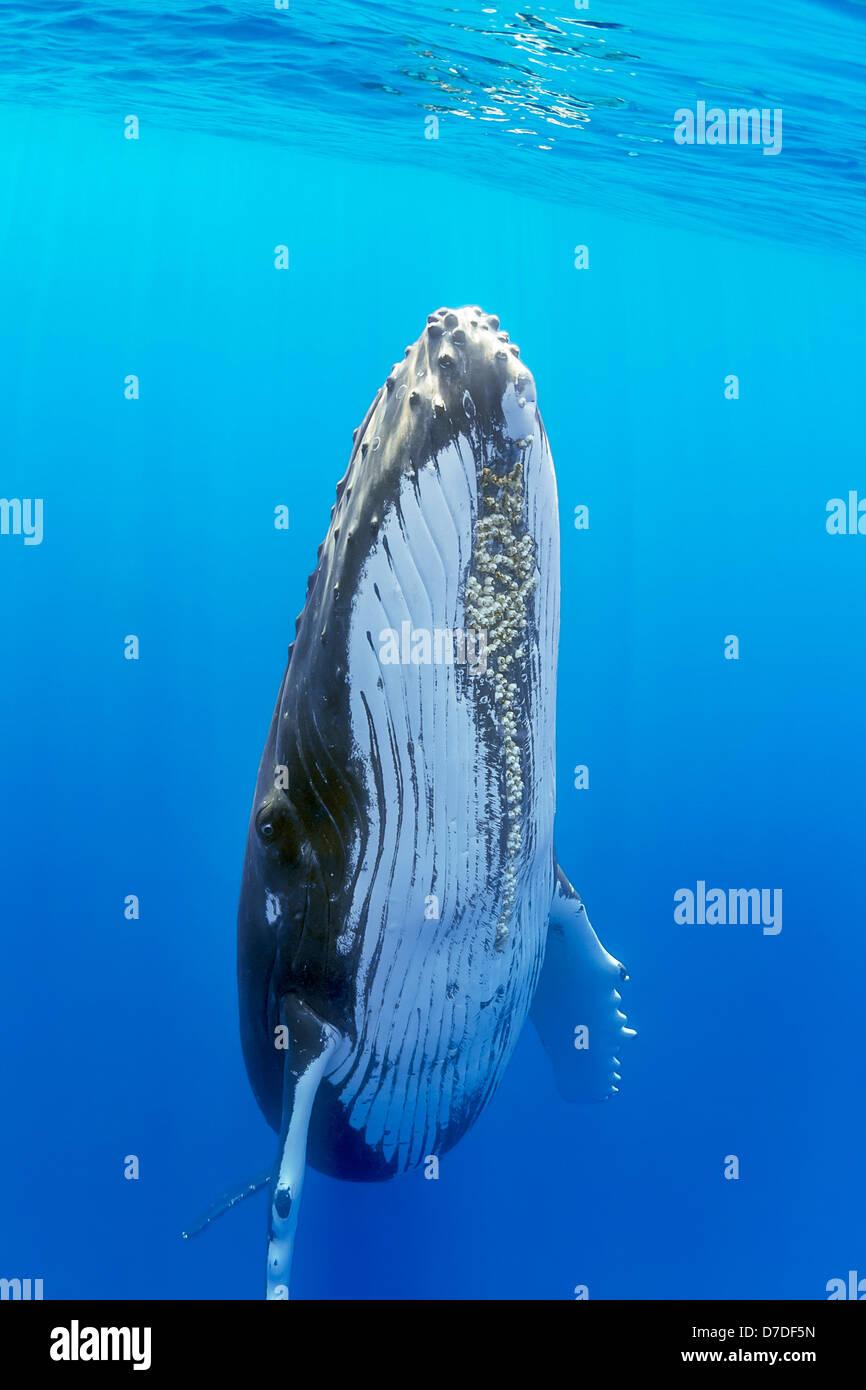 Humpback Whale, Megaptera novaeangliae, Hawaii, USA - Stock Image