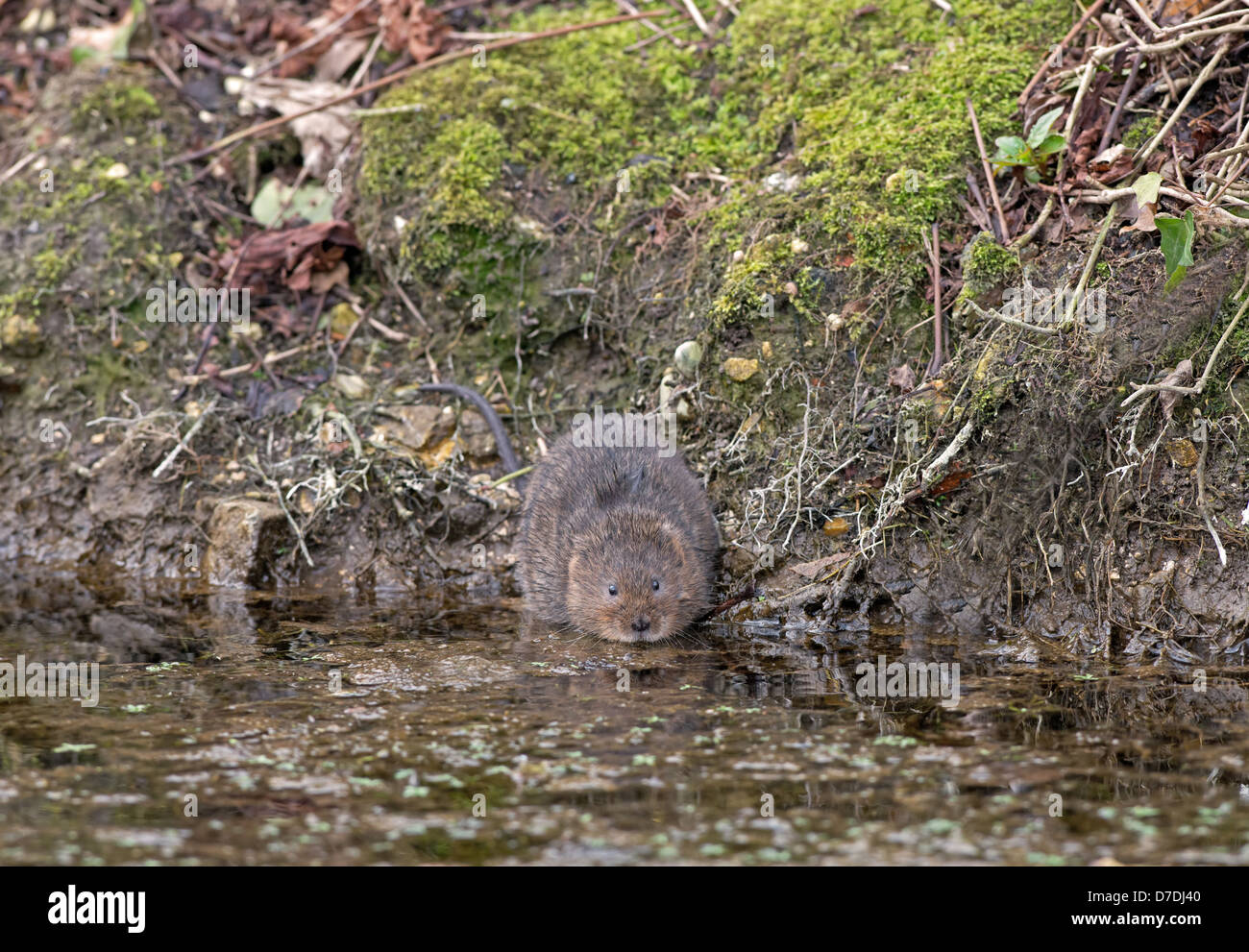 Water Vole - Arvicola terrestris beside a stream. Spring. UK - Stock Image