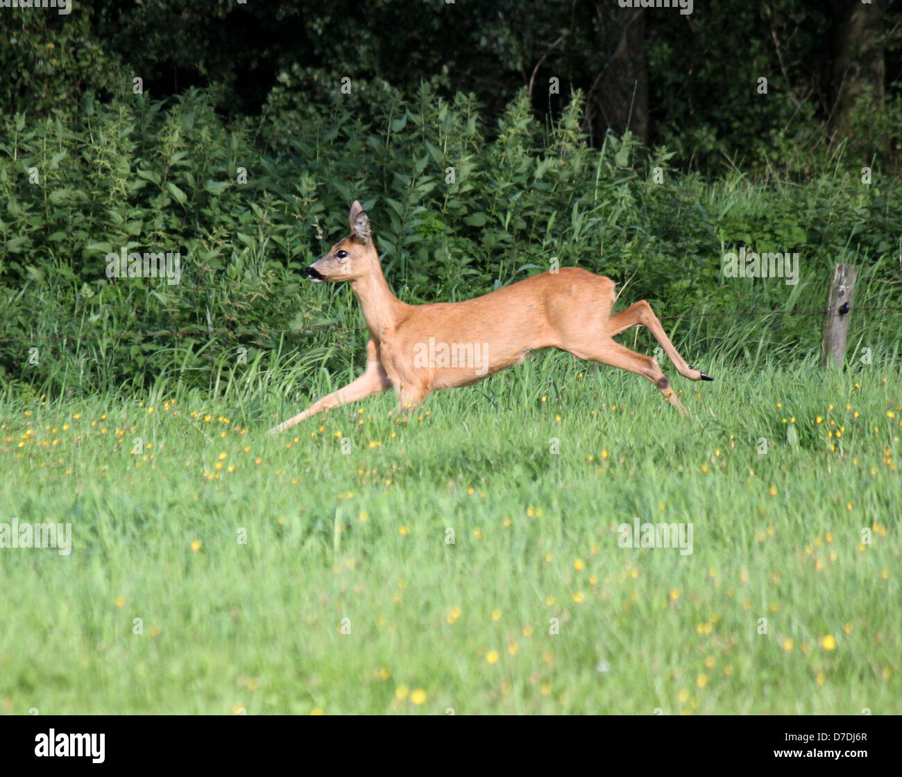 Female Roe Deer ( Capreolus capreolus) running fast through the high grass - Stock Image