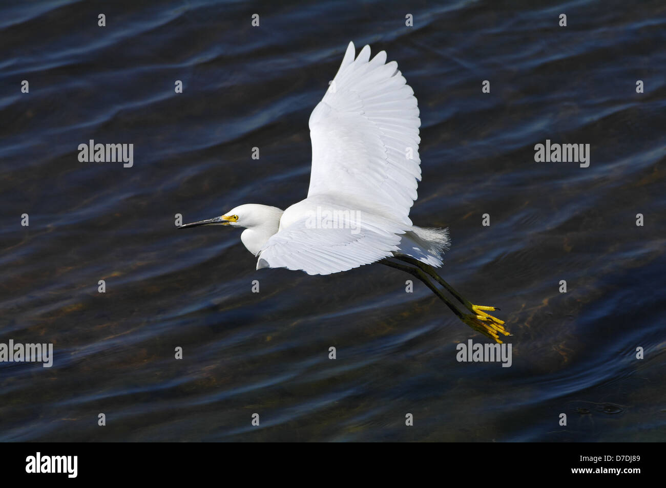 Egret, bird of the heron family, in flight. - Stock Image