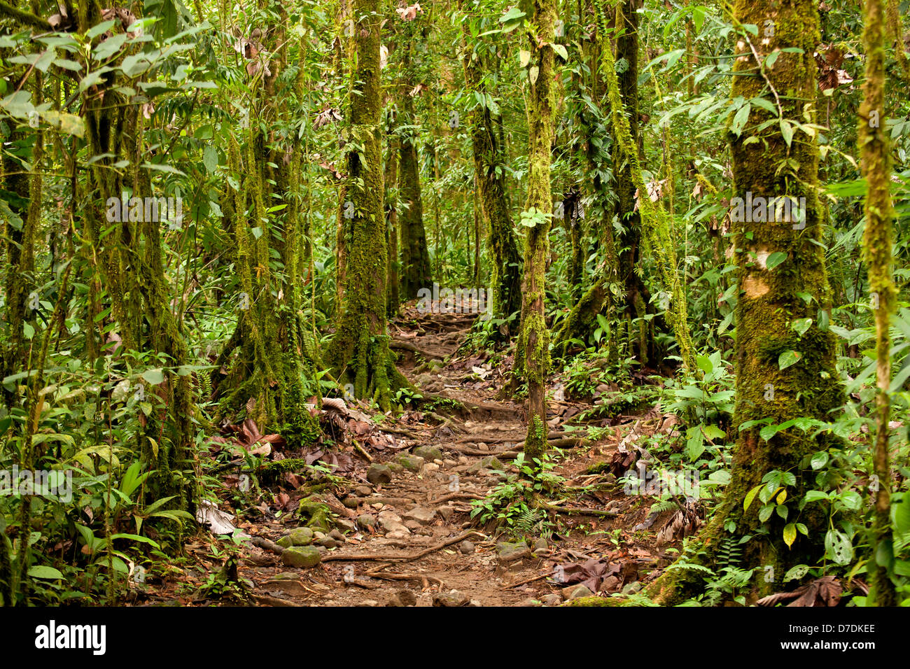 Moss-covered trees on a trail in the Volcán Tenorio National Park, Costa Rica, Central America - Stock Image