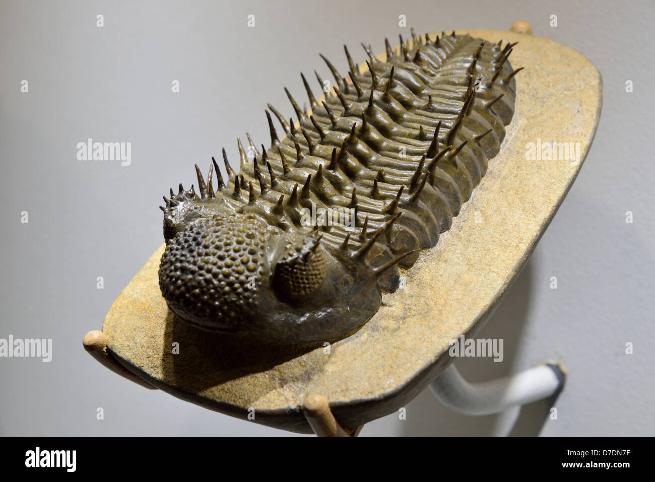 Fossil trilobite Drotops armatus with intrigued spines. Devonian age. - Stock Image