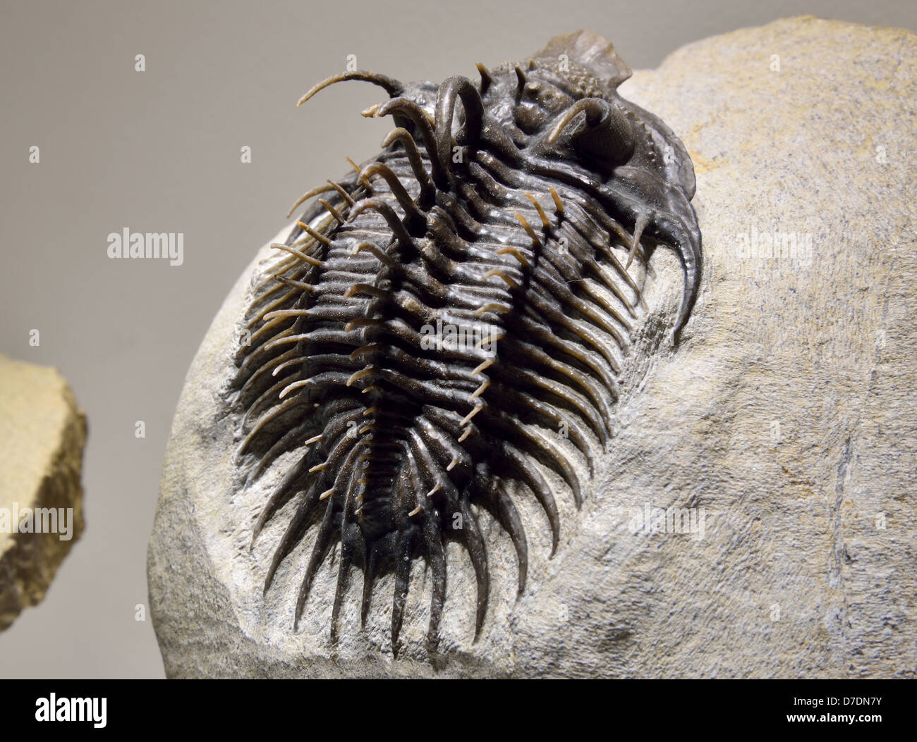 Fossil trilobite Comura with intrigued spines. Devonian age. - Stock Image