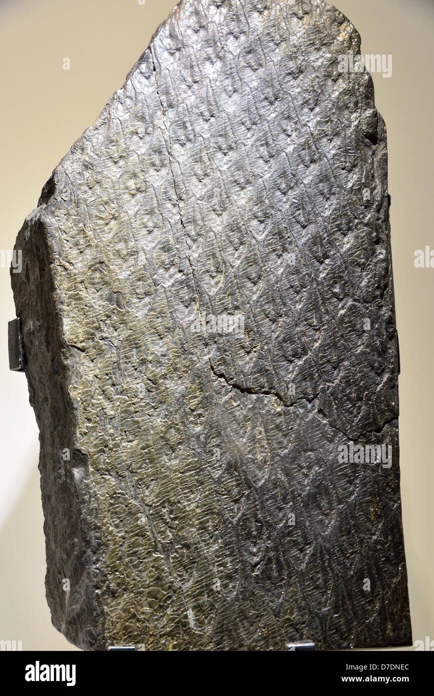 Fossil scale tree Lepidodendron bark. - Stock Image