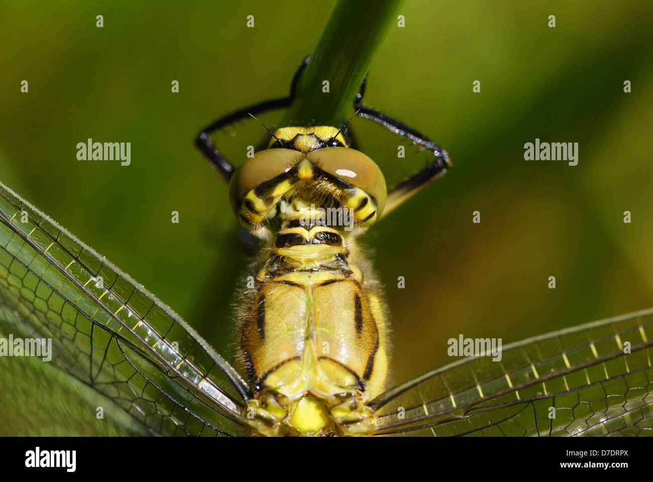 big dragonfly siting on the green grass - Stock Image