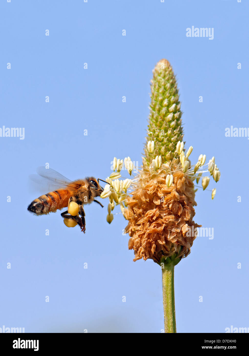 Honey bee, Pollinating and collect pollen - Stock Image