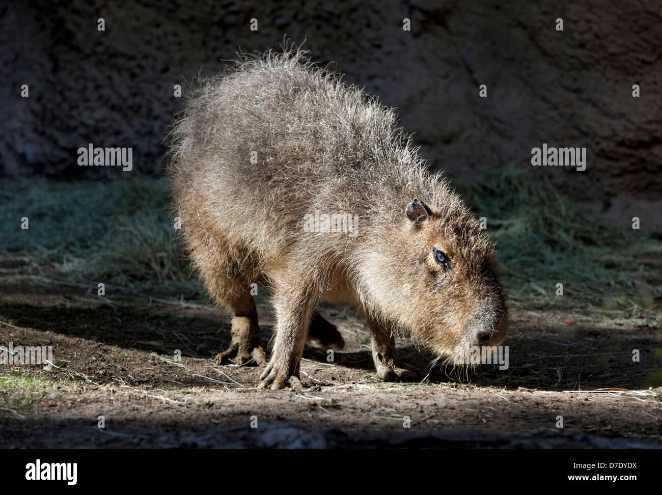 Capybara (Hydrochoerus hydrochaeris) - The largest rodent in the world - Stock Image