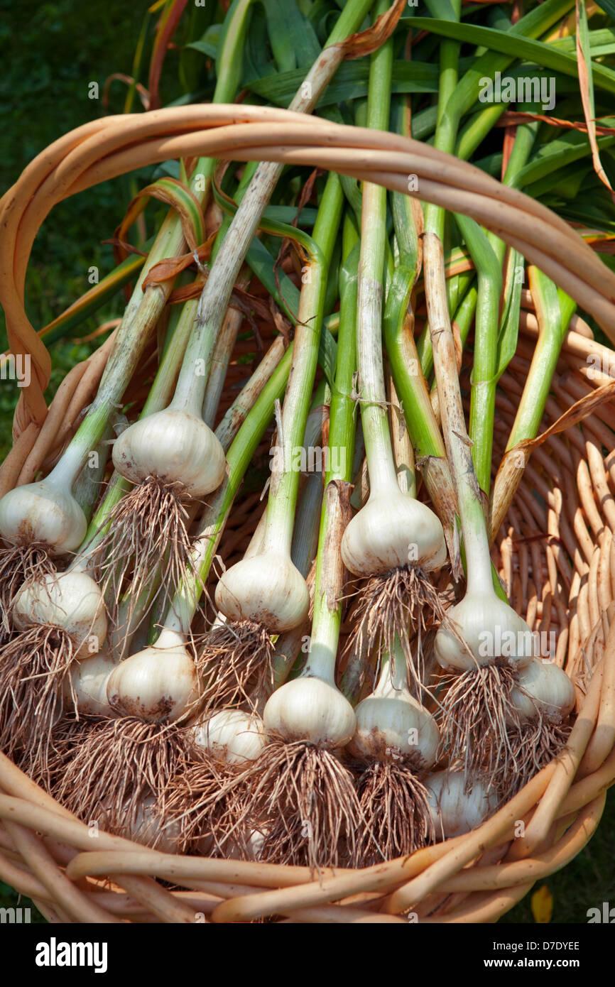 Garlic Harvest, Allium sativum - Stock Image